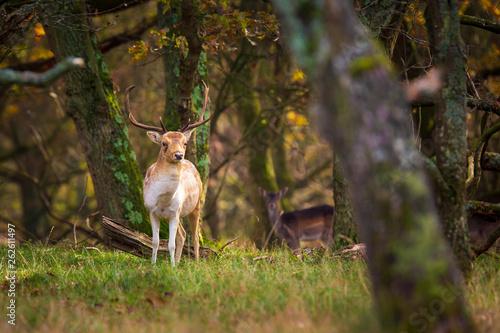 Foto op Canvas Ree Fallow deer Dama Dama stag in Autumn