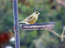 Greenfinch Green Finch On A Bird Table
