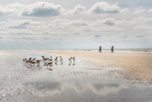 Flock Of Sandpipers On Beach A...