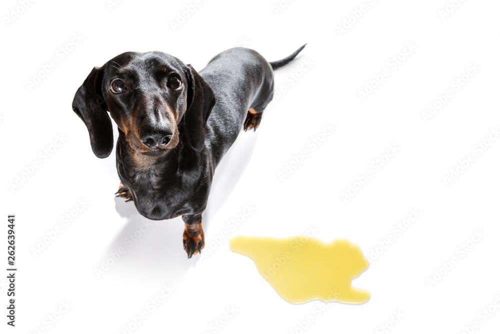 Fototapety, obrazy: dog pee owner at home