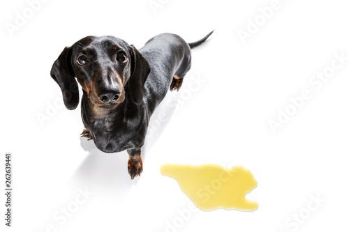 Photo sur Aluminium Chien de Crazy dog pee owner at home