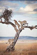 Male Cheetahs Standing On Tree In Masai Mara, Kenya