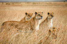 Pride Of Female Lions Standing...