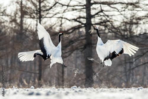 Fotografía  Dancing Cranes
