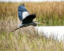 A Great Blue Heron Taking Off In A Salt-marsh In The Low Country Of South Carolina.