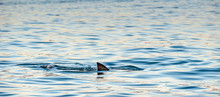 Shark Fin On The Surface Of Th...