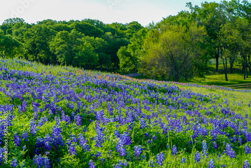 Photo View of blooming bluebonnet wildflowers along countryside near Texas Hill Countr