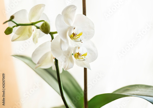 Fotobehang Orchidee A beautiful white orchid on the windowsill decorates the room.