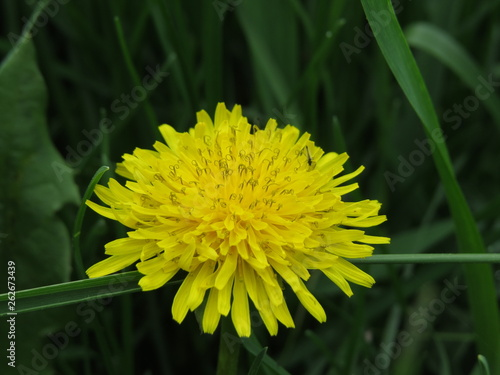 Photo  dandelion