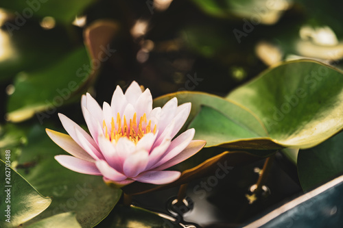 Fototapety, obrazy: beautiful lotus flower on the water in garden.