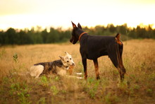 Twa Dogs Husky And Doberman At...