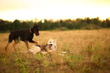 Twa Dogs Husky And Doberman At...
