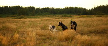 Three Dogs Husky And Bernese M...
