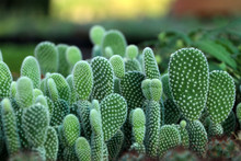 Many Opuntia Microdasys Cactus Or Bunny Ears Cactus.