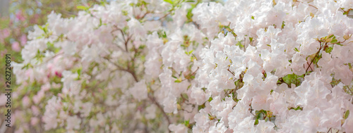 Fotomural Blooming white rhododendron (azalea), close-up, selective focus, copy space