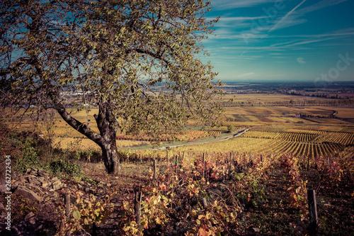 Photo sur Toile Marron chocolat arbre dans les vignes