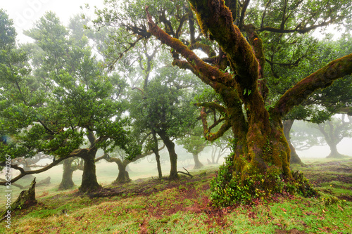 Photo  Old cedar tree in Fanal forest - Madeira island. Portugal.