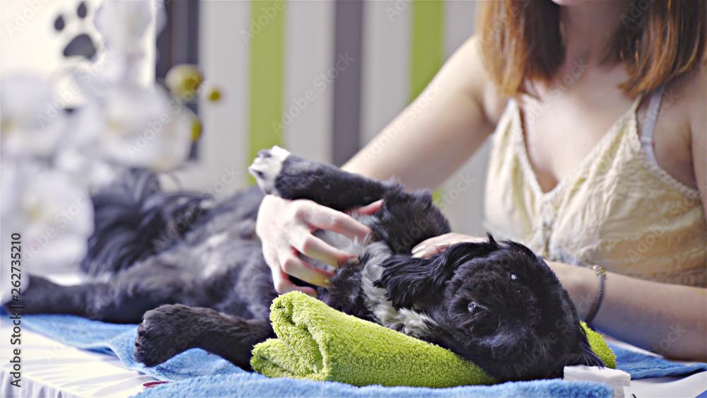 Fototapety, obrazy: Professional caressing at dog salon
