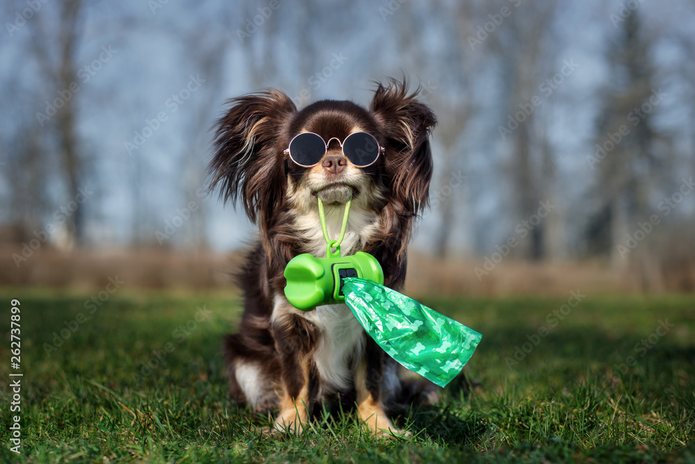 Fototapety, obrazy: chihuahua dog in glasses holding poo bag in her mouth
