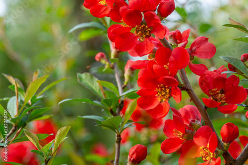 Macro of bright red spring flowering Japanese quince or Chaenomeles japonica on the blurred garden background Fototapet