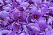 """canvas print picture - Flowers of saffron collection. Crocus sativus, commonly known as the """"saffron crocus"""" harvest"""