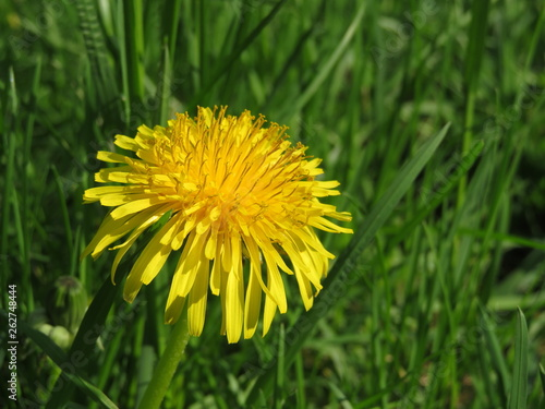 Photo  Spring flower, blooming dandelion on green grass in sunny day