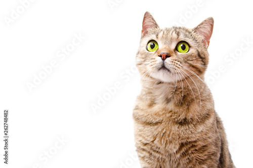 Keuken foto achterwand Kat Portrait of a curious cat Scottish Straight isolated on white background