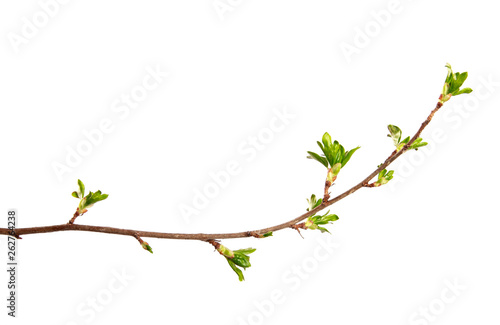 Leinwand Poster A branch of currant bush with young leaves on an isolated white background