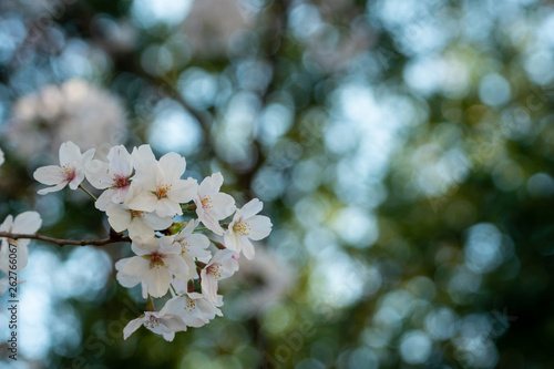 Fototapety, obrazy: Cherry blossom in spring for background or copy space for text