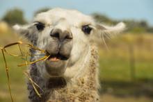 Animal Tipico Sudamerica Comie...