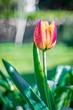 pomarańczowy tulipan w ogrodzie
