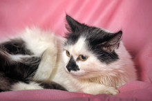 White With Black Fluffy Cat On A Pink Background