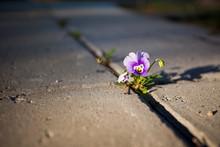 Violet Flower Growing In Between Stone Paving