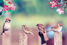 Natural Background With Birds Sparrows With Their Little Chicks Sitting On A Wooden Fence In The Village Garden Surrounded By And Pink Flowers Of Apple Tree On A Sunny Day In Spring