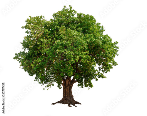 Foto op Aluminium Olijfboom single tree on transparent picture background with clipping path, single tree with clipping path and alpha channel on black background