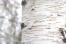 Birch Trees With Black And White Birch Bark As Natural Birch Background With Birch Texture