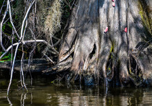Base Of Cypress Tree