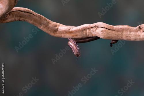 Vászonkép Millipede (Diplopoda) on wooden branch - closeup with selctive focus