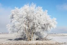 Sun Shining On Frozen Trees Near Tioga, North Dakota