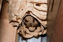 Nest Of Hornets