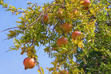 Autumn. Branch Of Pomegranate Tree (Punica Granatum) With Leaves And Ripe Fruits Against Blue Sky On A Sunny Day