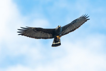 Zone-tailed Hawk Flying With His Prey.