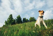 Fox Terrier Outdoors