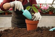 Woman Potting Seedling In Gree...