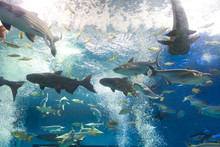Iridescent Shark And Many Fish In Aquarium Tank