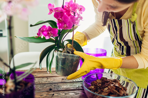 Fototapeta Woman transplanting orchid into another pot on kitchen. Housewife taking care of home plants and flowers obraz
