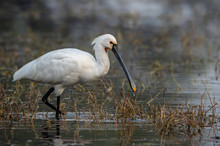 An Adult Indian Spoonbill Feeding In The Marshy Lands Of Keoladeo National Park In Bharatpur