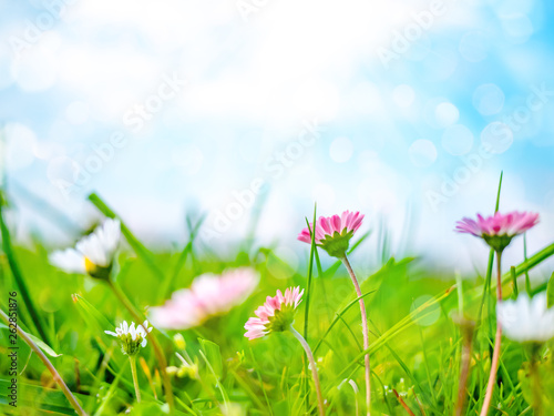 Deurstickers Madeliefjes Spring nature background with daisies - bellis perennis, marguerite and blue sky