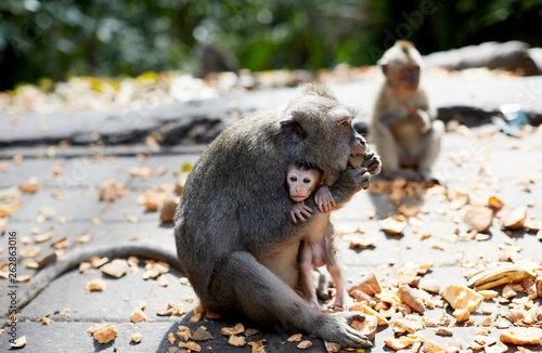 Foto op Aluminium Historisch mon. Cute monkeys nestled in the arms of Monkey Mother.In Bali