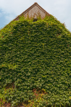 Green Vine Wall